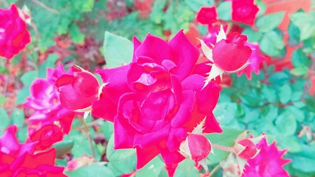 artistic: Bright abstract red roses closeup in a flower garden.