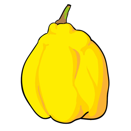 quince: quince - hand drawn fruits isolated vector