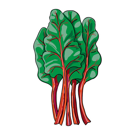 hand drawn vegetable isolated vector chard Çizim