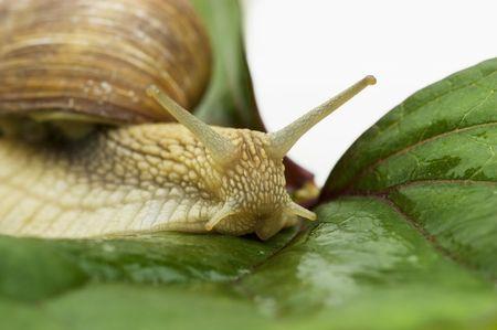 edible snail: Macro of an edible snail Stock Photo