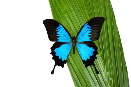 swallowtail: Blue Mountain Butterfly on a green coconut palm leaf. Stock Photo