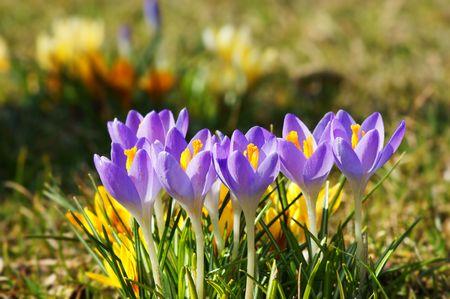 stigmate: Gros plan de safran crocu s fleurs Banque d'images
