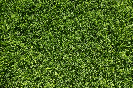 cut grass: Grass texture from a fresh cut lawn
