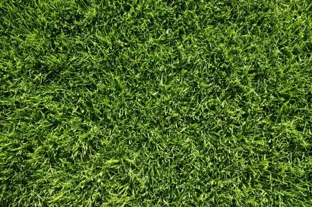 cut grass: Grass texture from a fresh cut lawn