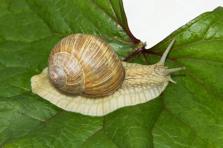 mollusc: Burgundy snail on a leaf of ligularia