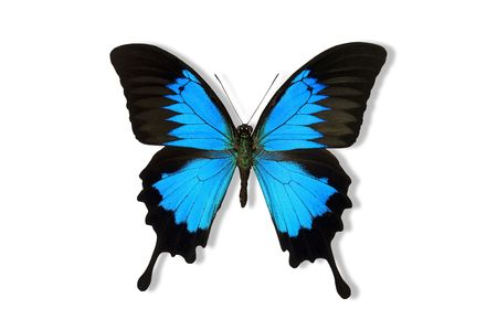 papilio: Blue Mountain Butterfly isolated on white.
