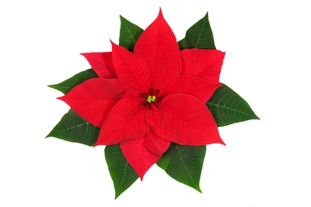 poinsettia: Poinsettia flower