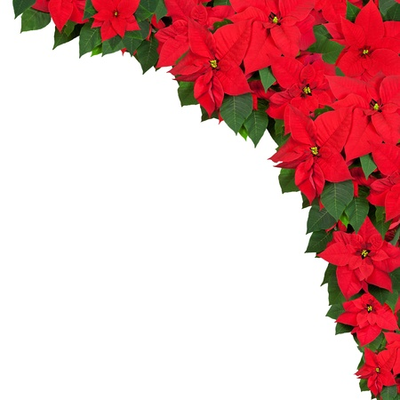 Frame of poinsettia flowers isolated on white. photo