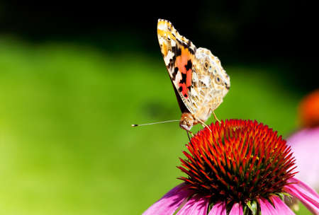 vanessa: Close-up of Painted Lady butterfly on Purple Coneflower