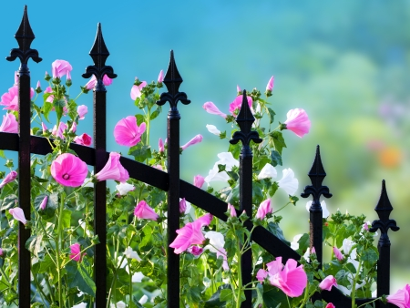 wrought iron: Wrought iron fence with annual mallow flowers  Clipping path included