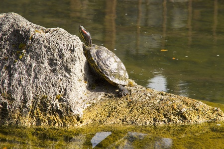 Red eared slider turtle sitting on a rock in a pond Stock Photo