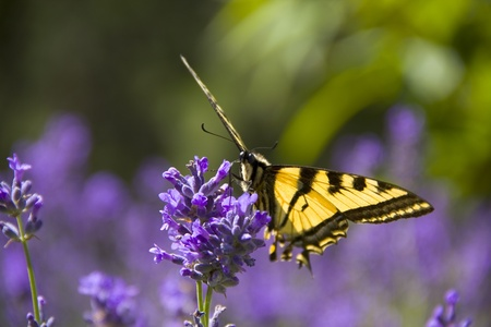 BC Wood Nymph on Lavender in summer