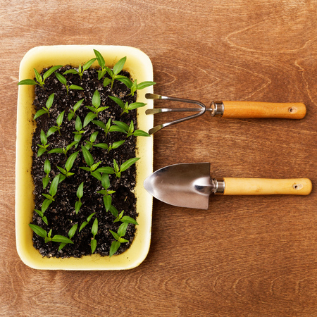 bourgeon: Little Green Sprouts and Small Gardening Tools  on Woody Background Stock Photo