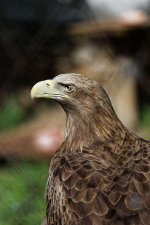 stern: Portrait of an eagle with a proud and stern look