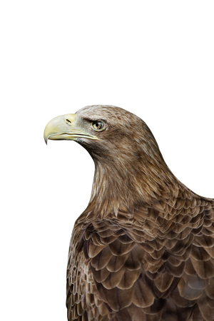 stern: Portrait of an eagle with a proud and stern look isolated on white Stock Photo