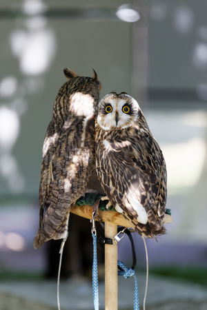 living wisdom: Two owls sitting on a barling and looking around Stock Photo