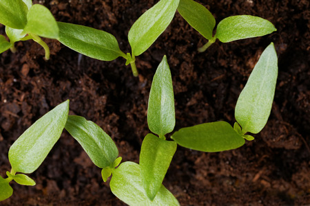 bourgeon: Little green sprout in the ground. Top view. Stock Photo