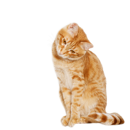 bowed: Ginger cat sits bowed his head to the side isolated on white