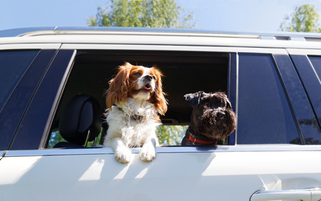 Two dogs look out the open car window 스톡 콘텐츠