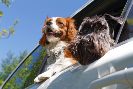look out: Two dogs look out the open car window Stock Photo