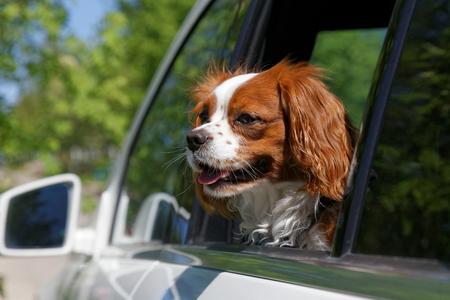 キング ・ チャールズ ・ スパニエルのオープンカーのウィンドウ外を見 写真素材