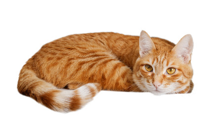 Lying ginger cat isolated on white