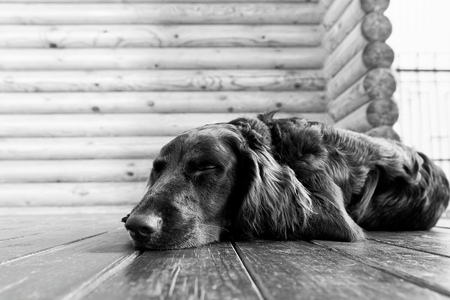 shallow  focus: Dog breed Wachtelhund asleep lying on the wooden floor against blurred background of log wall. Black and white. Shallow focus.