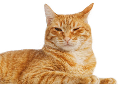 waiting glance: Portrait of a red cat with a cunning squinting glance isolated on white