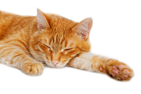 dozing: Portrait of a red cat dozing on white background Stock Photo