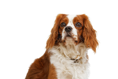 King Charles Spaniel (English Toy Spaniel) - small dog breed of the spaniel type. White background. Stock Photo