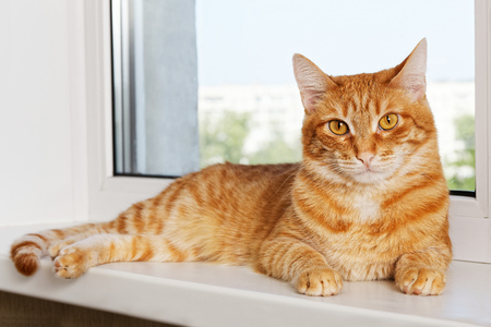 Closeup photo of domestic red cat lying on window sill and looking at camera