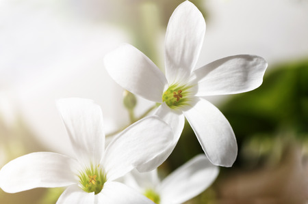 Closeup photo of white spring flowers - Oxalis acetosella in the sunlight against blurred background. Soft backlight. Shallow focus.