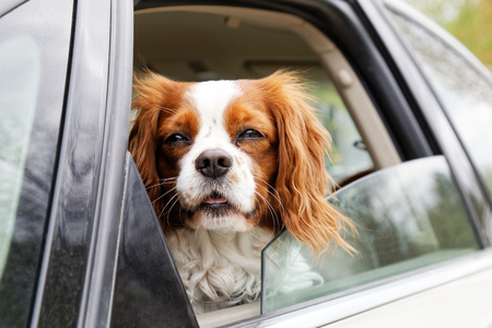 A white-red-haired dog King Charles Spaniel looks out of an open car window