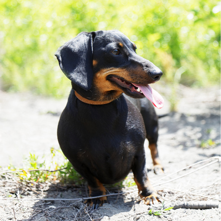Dachshund dog sitting on the ground and looking to the side. Foliage and grass on blurred background. Shallow focus. Stock Photo