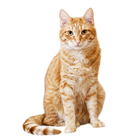 Ginger cat sits and looks directly in camera isolated on white Stock Photo