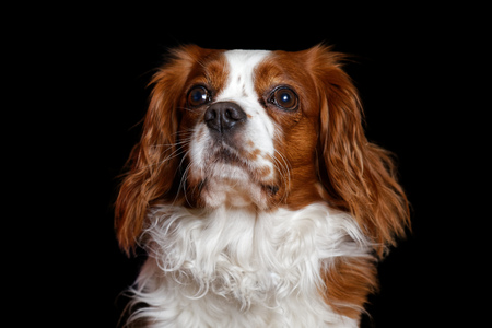 Young dog King Charles Spaniel with big eyes attentive looks away. Isolated on black. Shallow focus.