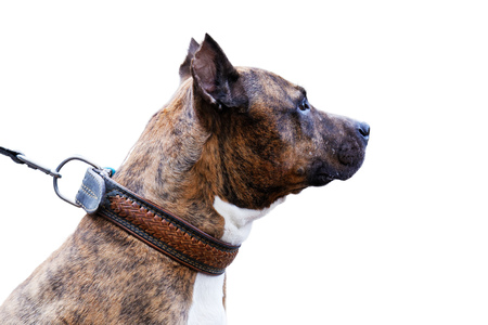 Closeup portrait of dog in profile - American Staffordshire Terrier. Isolated on white.