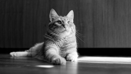 Closeup portrait of a cat lying on a wooden floor and looking up on a blurred background. Shallow focus. Black and white. Copyspace.