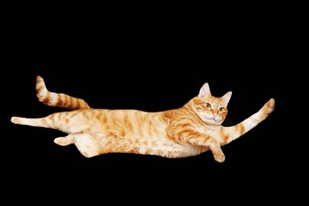 Funny portrait of a flying red cat on a black background. Isolated on black. Copyspace. Imagens