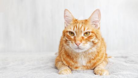 Closeup portrait of red cat lying on a bed against white blurred background. Shallow focus.