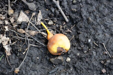 Overripe and rotten fruit of pear lies on the ground in the mud