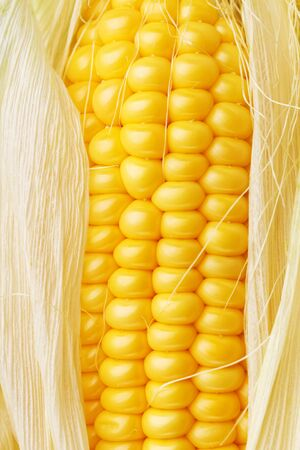 Closeup fragment of ripe ear of corn 写真素材