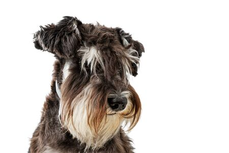 Closeup portrait of dog breed Zwergschnauzer isolated on white.