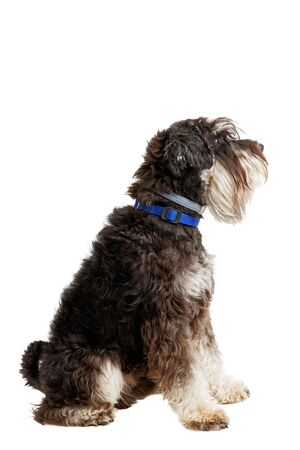 Profile portrait of dog breed Zwergschnauzer isolated on white. 스톡 콘텐츠