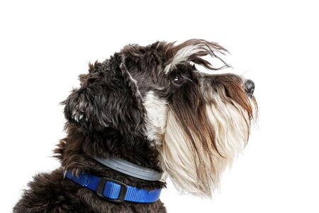 Closeup profile portrait of dog breed Zwergschnauzer isolated on white.