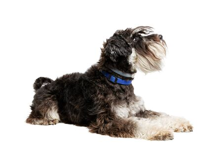 Portrait of lying dog breed Zwergschnauzer isolated on white.