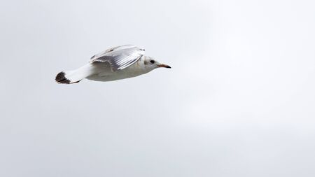 Lonely seagull soars above the water. Shallow focus.