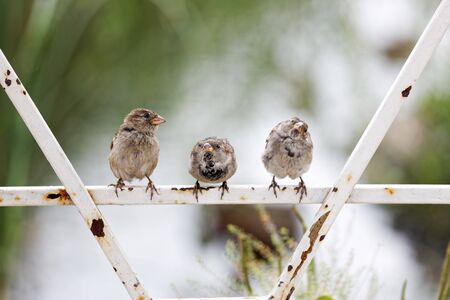 Three sparrows are sitting on an old metal fence against blurred background. Shallow focus. 스톡 콘텐츠