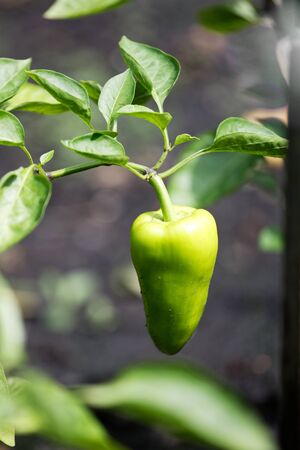 Sweet pepper plant. Closeup small green bell pepper growing on a plant outdoors in a garden.