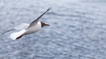 White seagull soars above the surface of the water. Blurred background.